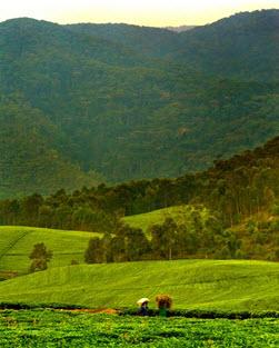 champ de thé Rwanda